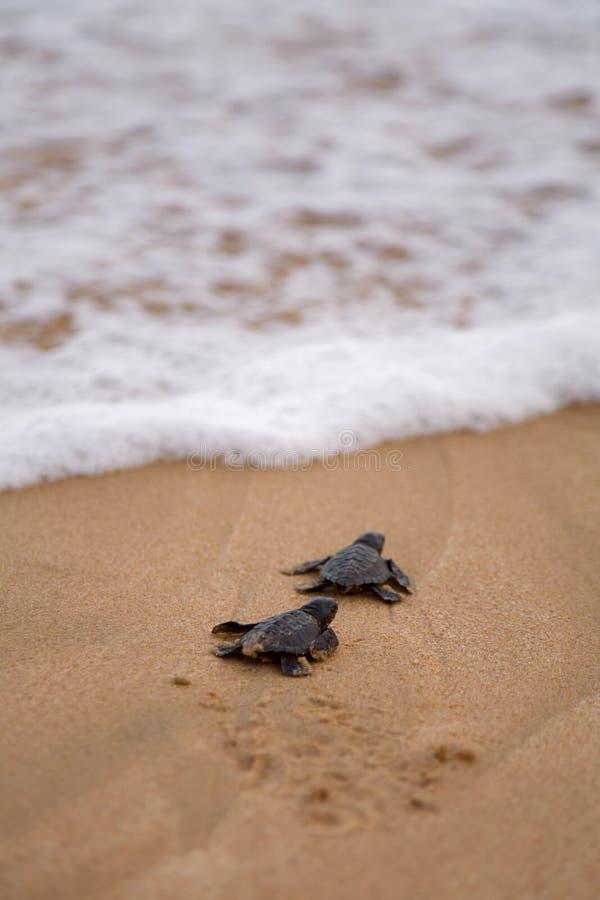 Las tortugas del bebé que lo hacen son manera al océano imagen de archivo
