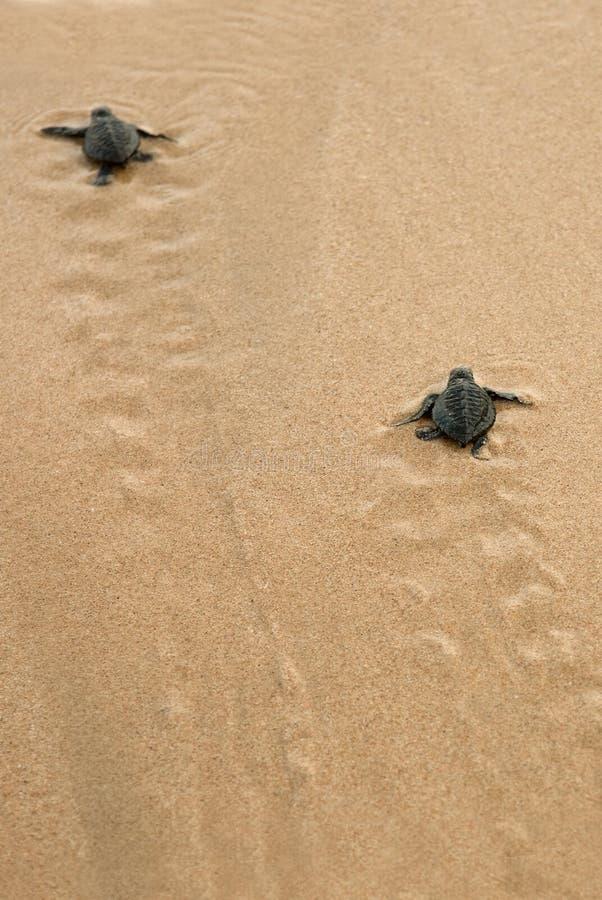 Las tortugas del beb? que lo hacen son manera al oc?ano fotografía de archivo libre de regalías