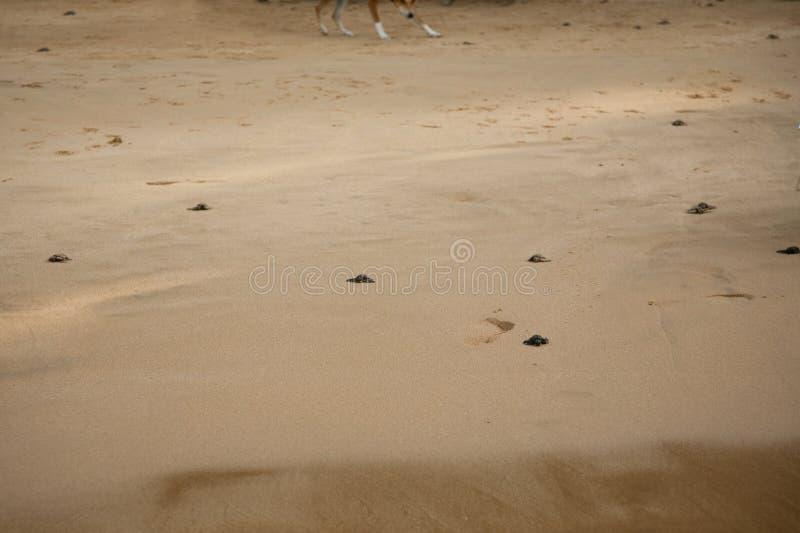 Las tortugas del beb? que lo hacen son manera al oc?ano foto de archivo