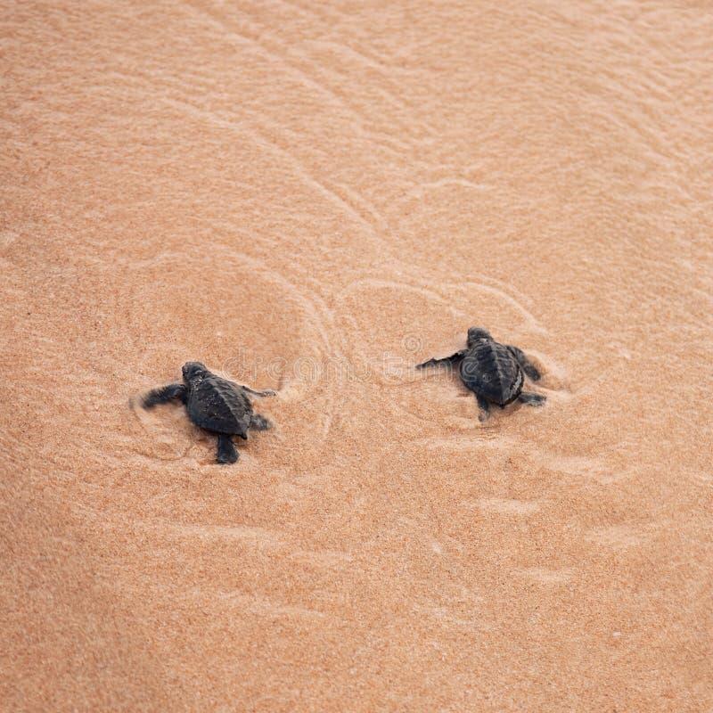 Las tortugas del beb? que lo hacen son manera al oc?ano fotos de archivo