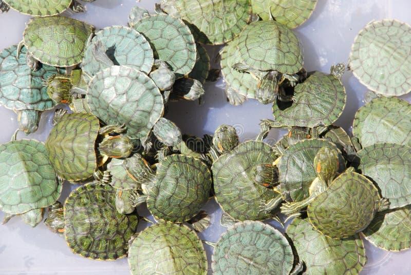 Las tortugas descascadas verdes del Rojo-oído imagen de archivo libre de regalías