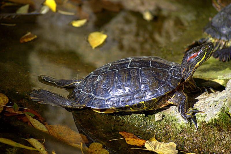 Las tortugas toman el sol en rocas foto de archivo