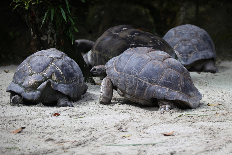 Las tortugas van alrededor su negocio, Singapur imagen de archivo