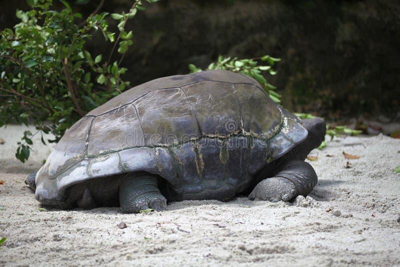 Las tortugas van alrededor su negocio, Singapur imagenes de archivo