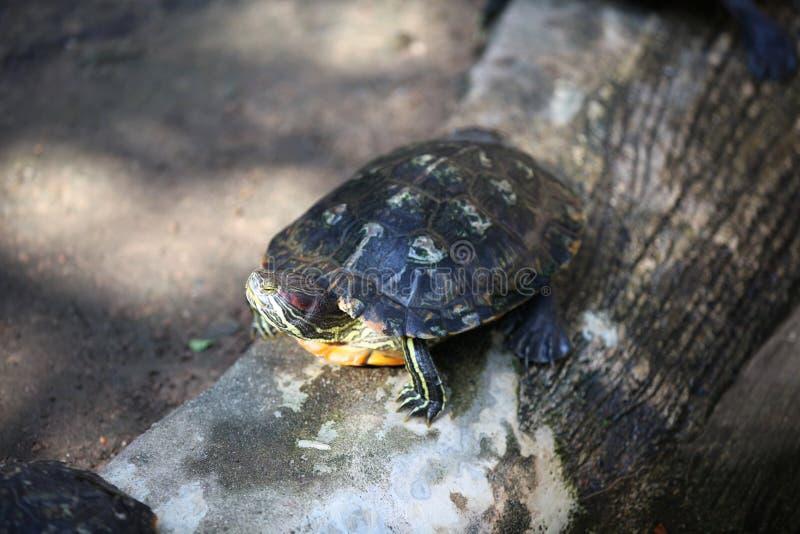 Las tortugas van alrededor su negocio, Tailandia imagen de archivo