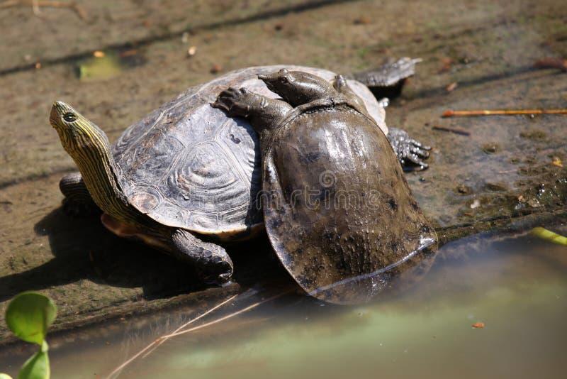 Las tortugas van alrededor su negocio, Tailandia foto de archivo