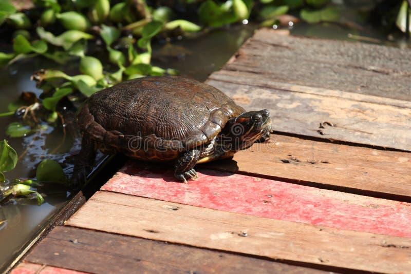 Las tortugas van alrededor su negocio, Tailandia fotografía de archivo