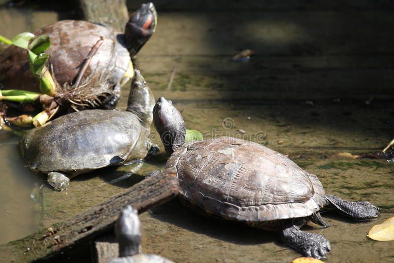 Las tortugas van alrededor su negocio, Tailandia imágenes de archivo libres de regalías
