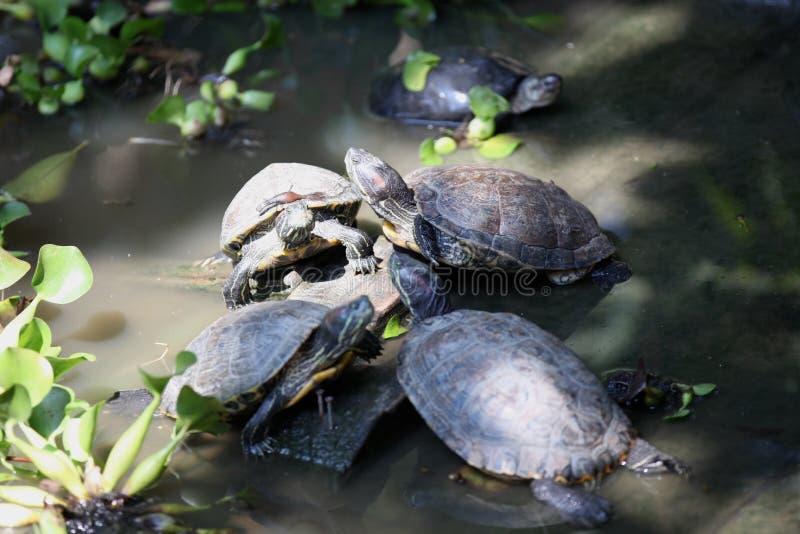 Las tortugas van alrededor su negocio, Tailandia fotos de archivo libres de regalías