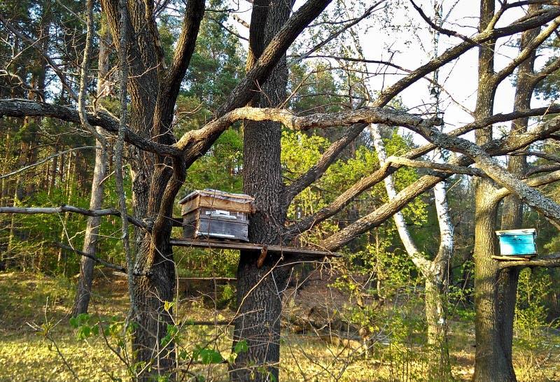 Las trampas de madera de las casas de la abeja cuelgan en los árboles para las abejas de cogida imagen de archivo