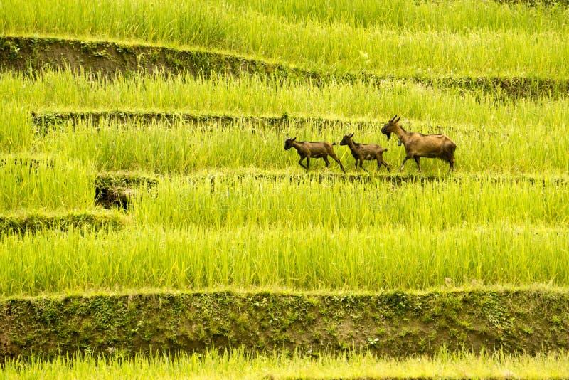 Las tres cabras fueron en los campos colgantes de oro Ha Giang - Sapa Vietnam del noroeste China, indochina fotos de archivo