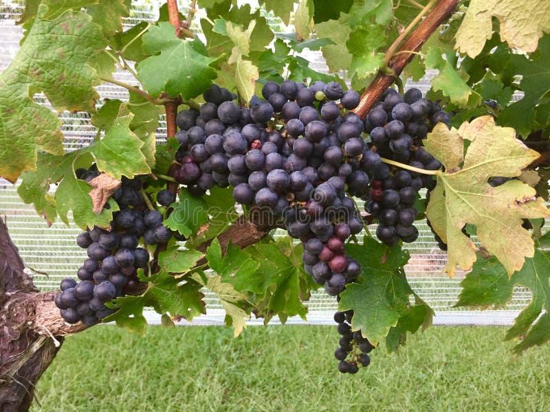 Las uvas de Cabernet Sauvignon cuelgan en una vid fotos de archivo libres de regalías