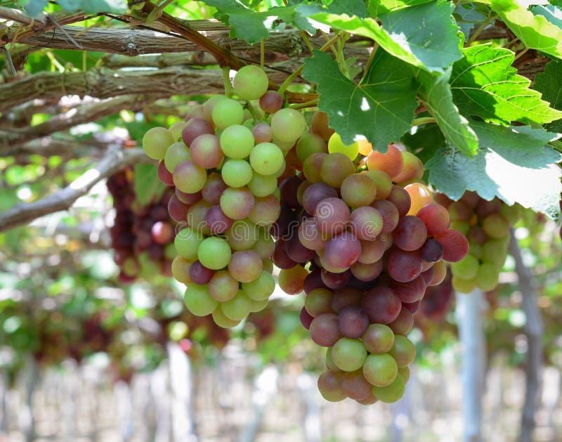Las uvas en la vid en Phan sonaron, Vietnam fotos de archivo libres de regalías
