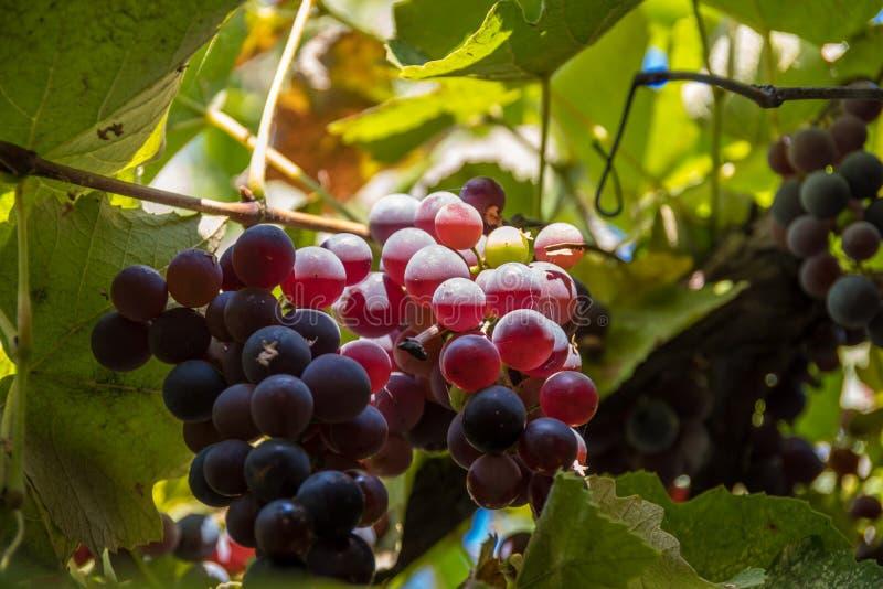 Las uvas maduras cuelgan en los rayos del sol en los párpados imágenes de archivo libres de regalías
