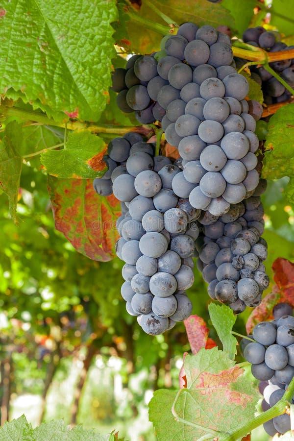 Las uvas rojas o negras maduras agrupan la ejecución en una vid imagen de archivo