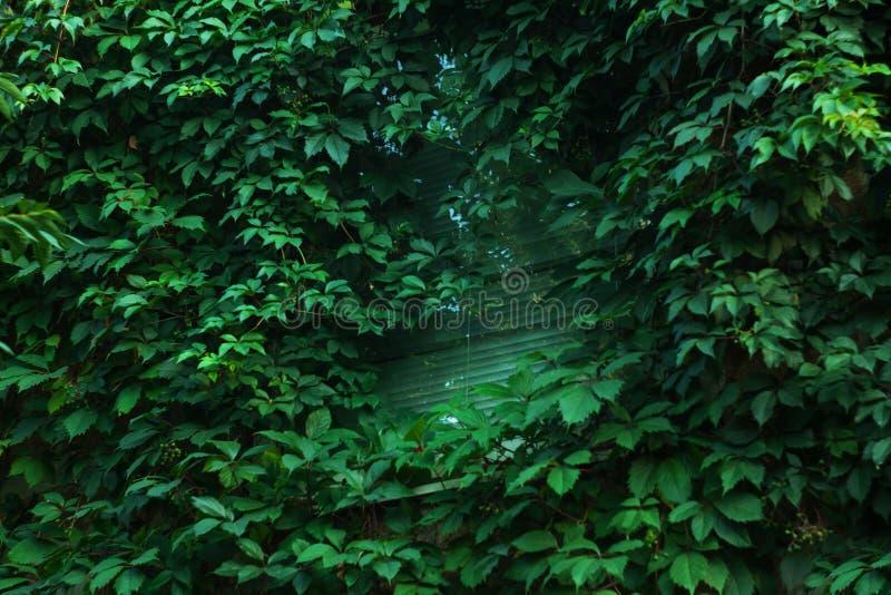 Las uvas salvajes crecen en la casa alrededor de la ventana Fondo de la naturaleza, fotografía de la calle foto de archivo