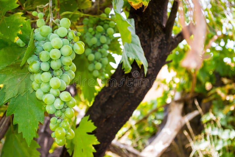 Las uvas verdes no cortaron todavía foto de archivo