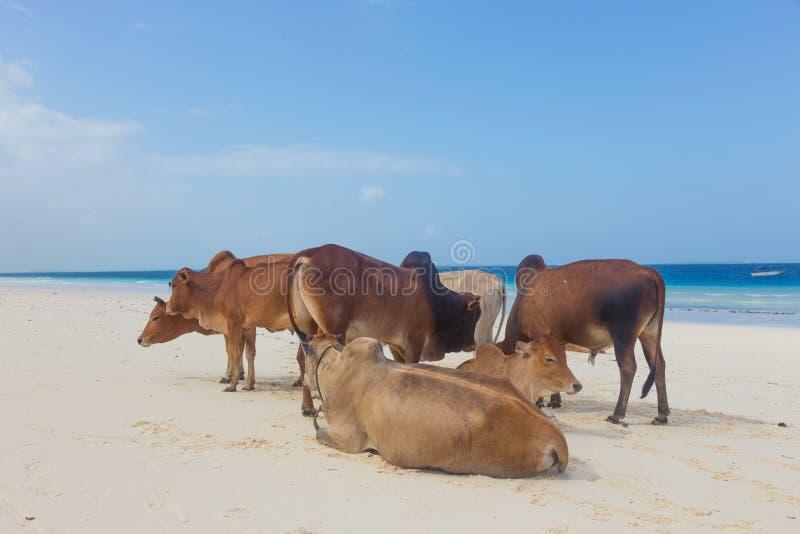 Las vacas africanas están descansando sobre la playa de Nungwi, Zanzíbar, Tanzaia, África imágenes de archivo libres de regalías