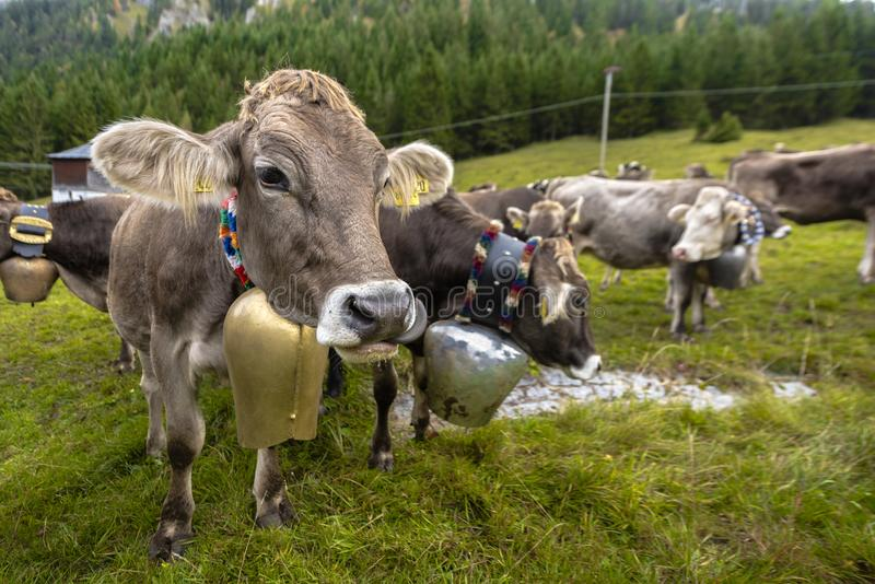 Las vacas bastante alpinas con las campanas alrededor de su cuello después del ` de Almabtrieb del ` de la montaña pastan de nuev imágenes de archivo libres de regalías