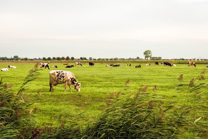 Las vacas blancos y negros pastan en el pasto según lo visto de la cerca fotos de archivo