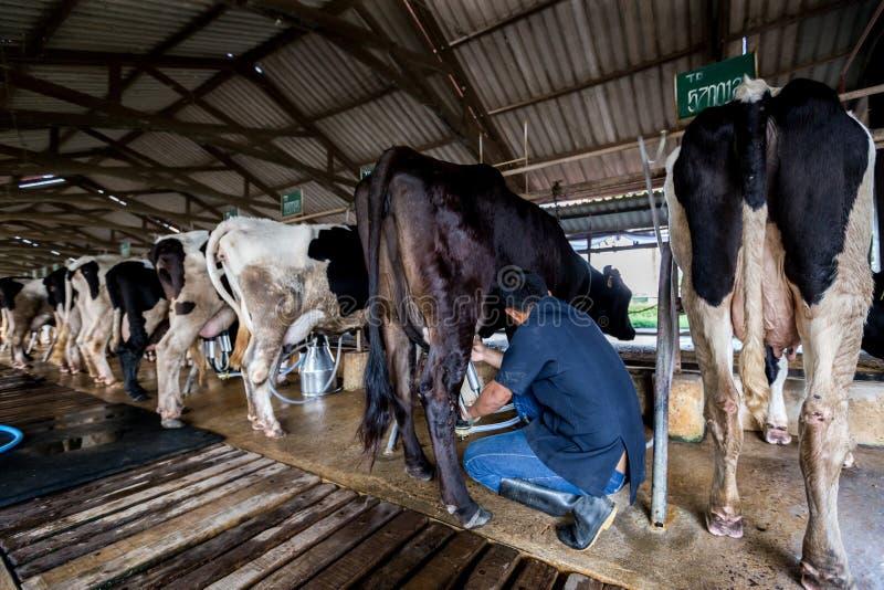 Las vacas con un hombre están ordeñando en una granja lechera fotos de archivo
