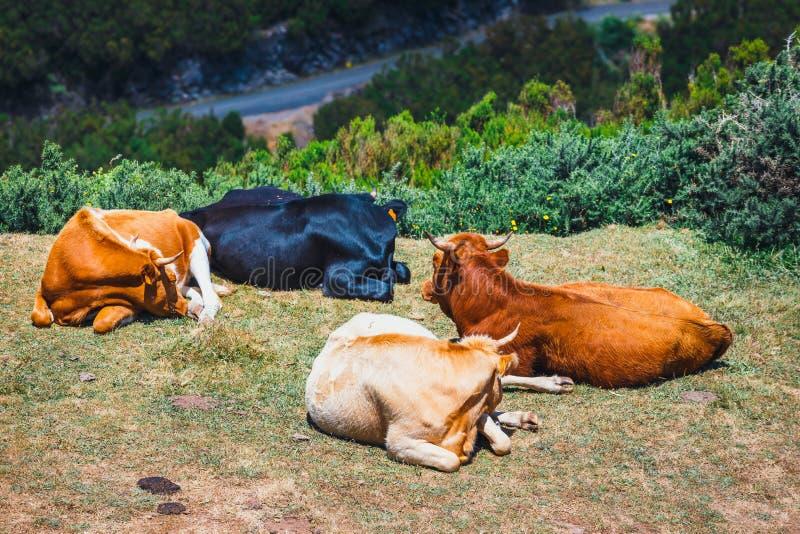 Las vacas de Brown en la entrada al rastro a los fontes de Levada das 25 y a Levada hacen Risco, Madeira fotografía de archivo