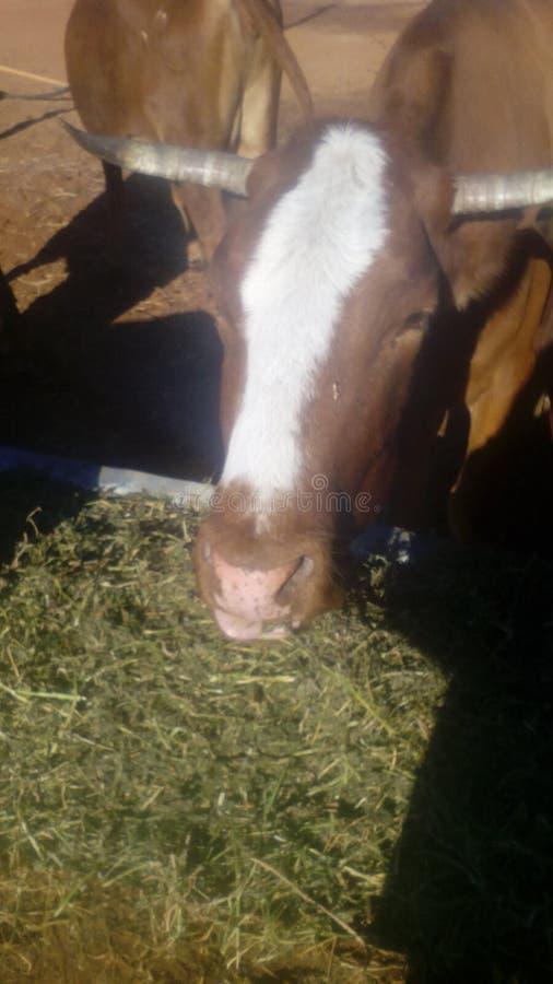 Las vacas de mi papá foto de archivo libre de regalías