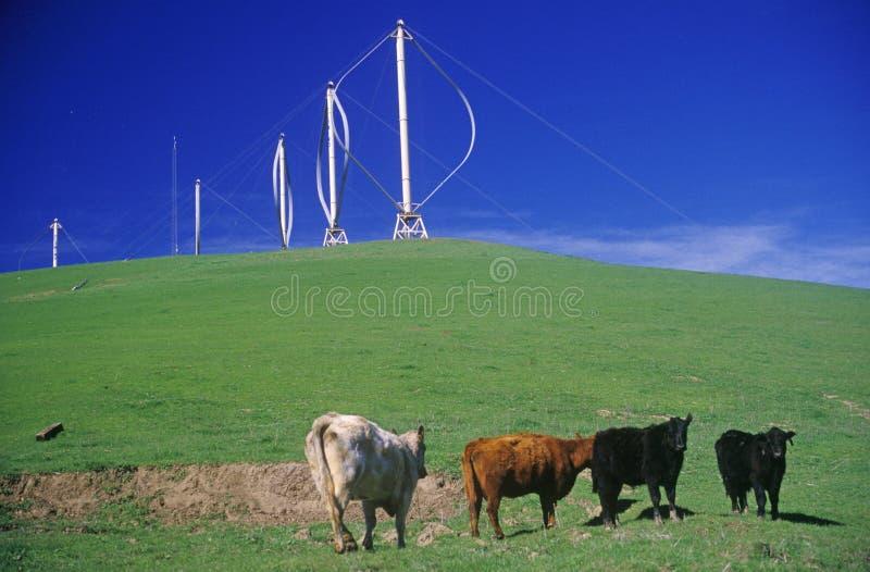 Las vacas delante de las turbinas de viento en Altamont pasan, CA fotos de archivo libres de regalías