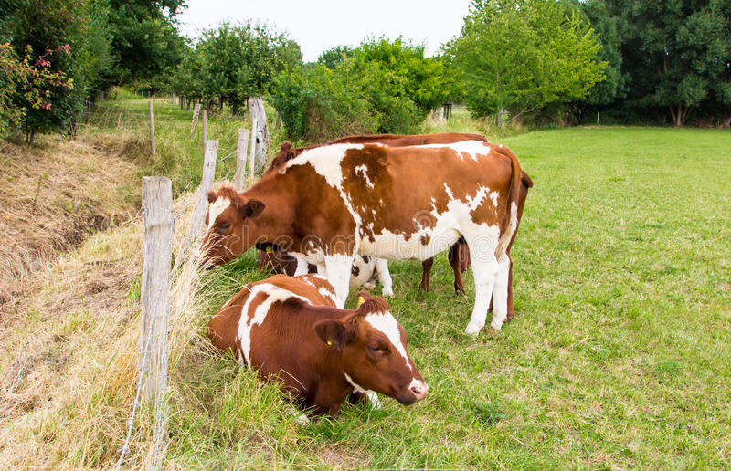 Las vacas en el campo en prado verde cultivan el pueblo foto de archivo