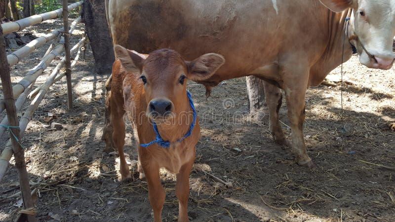 Las vacas en las jaulas, ganado se desarrollan fácilmente como proveedores de la carne para la diversa comida fotos de archivo