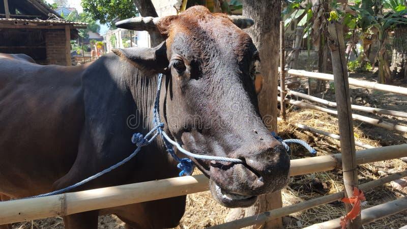 Las vacas en las jaulas, ganado se desarrollan fácilmente como proveedores de la carne para la diversa comida imagen de archivo