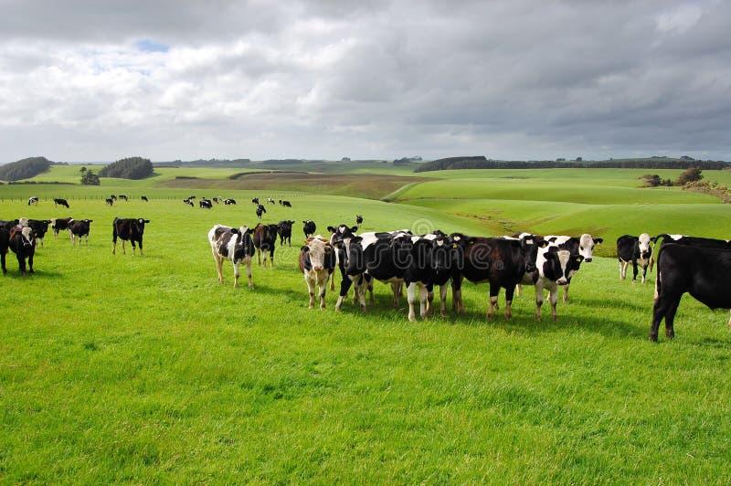 Las vacas en rancho fotos de archivo libres de regalías