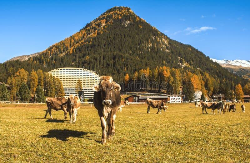 Las vacas pastan en el campo en Davos en Suiza en el fondo de las montañas suizas Davos Switzerland imágenes de archivo libres de regalías