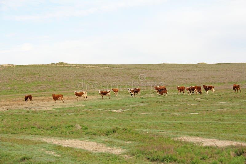 Las vacas pastan en el campo verde Rusia fotos de archivo libres de regalías