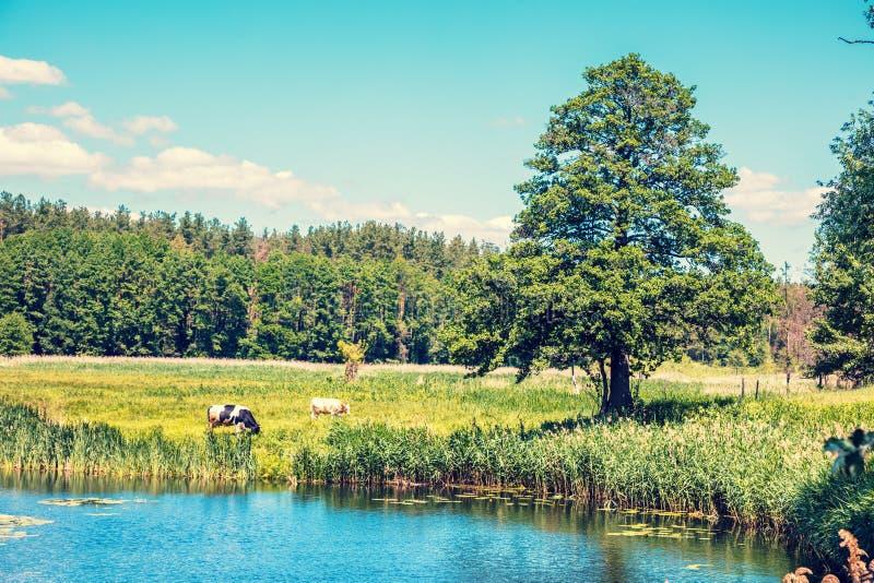 Las vacas pastan en la orilla del lago foto de archivo