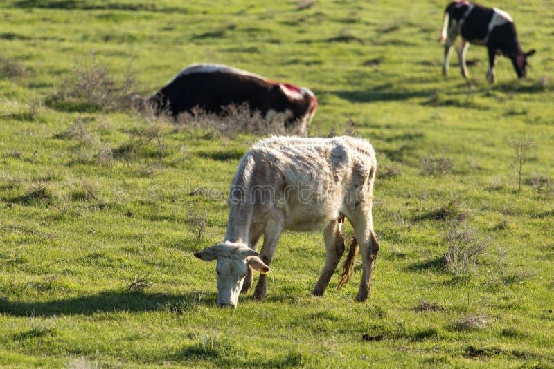 Las vacas pastan en pasto en la naturaleza imagen de archivo