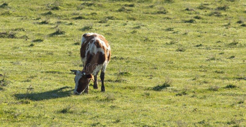 Las vacas pastan en pasto en la naturaleza foto de archivo libre de regalías