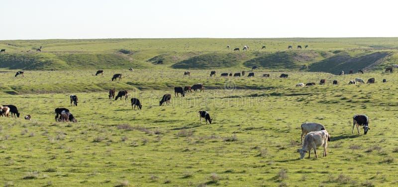 Las vacas pastan en pasto en la naturaleza fotografía de archivo libre de regalías
