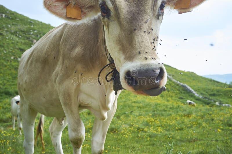 Las vacas pastan en un campo imágenes de archivo libres de regalías
