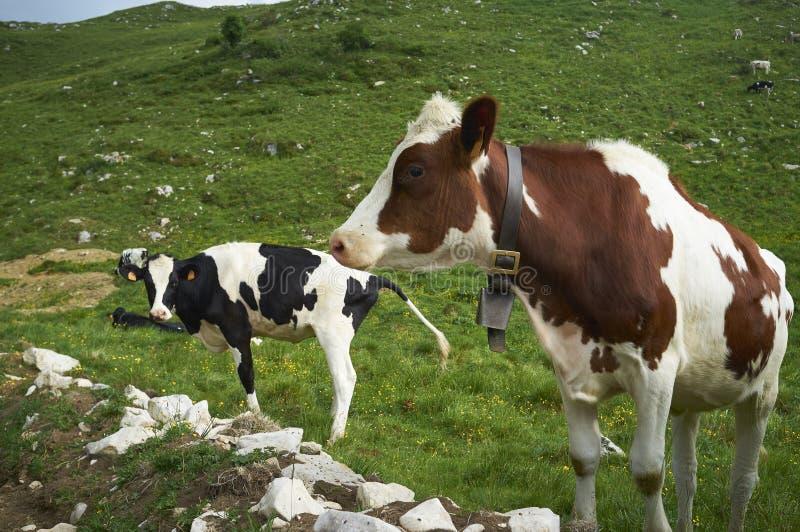 Las vacas pastan en un campo foto de archivo libre de regalías