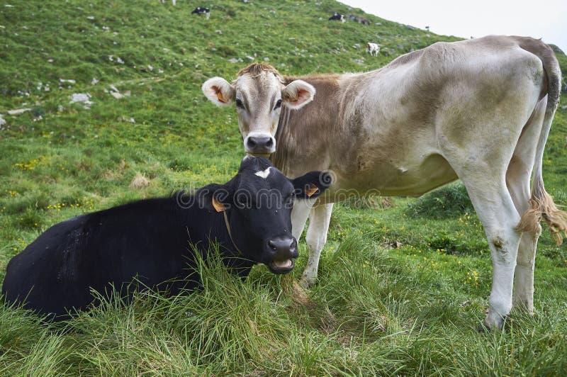 Las vacas pastan en un campo fotos de archivo