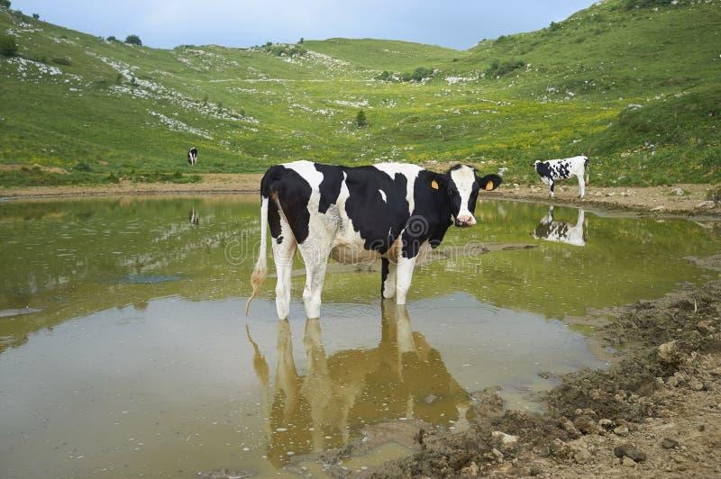 Las vacas pastan en un campo foto de archivo