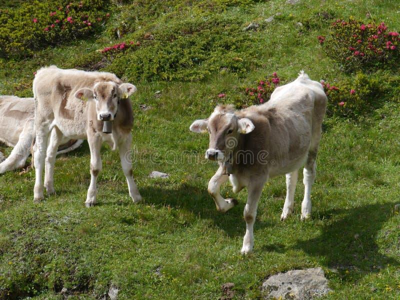 Las vacas suizas en un prado del Bernina pasan fotografía de archivo libre de regalías