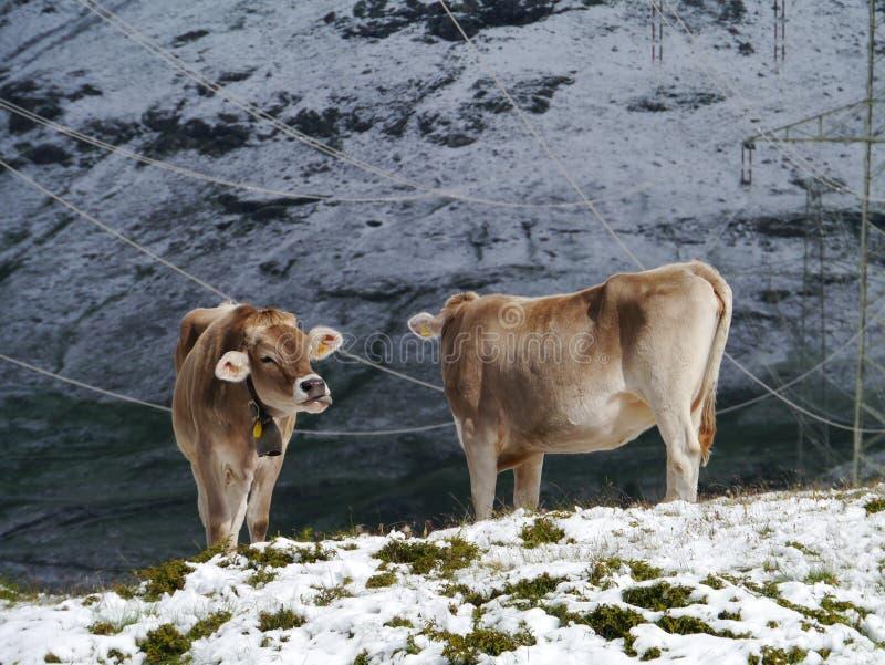 Las vacas suizas en un prado del Bernina pasan foto de archivo libre de regalías