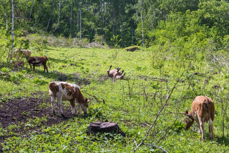 Las vacas y el caballo pastan en el prado, vida del pueblo, Altai, Rusia imágenes de archivo libres de regalías