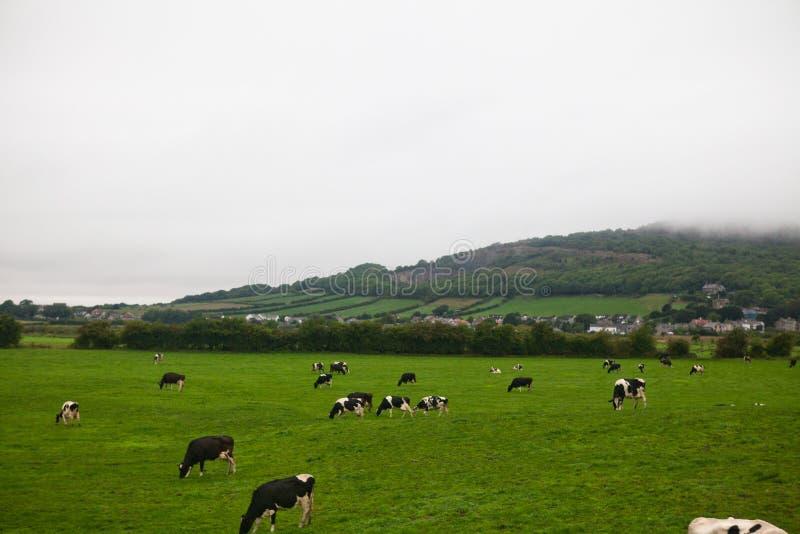 Las vacas y las medallas en Inglaterra imagen de archivo libre de regalías