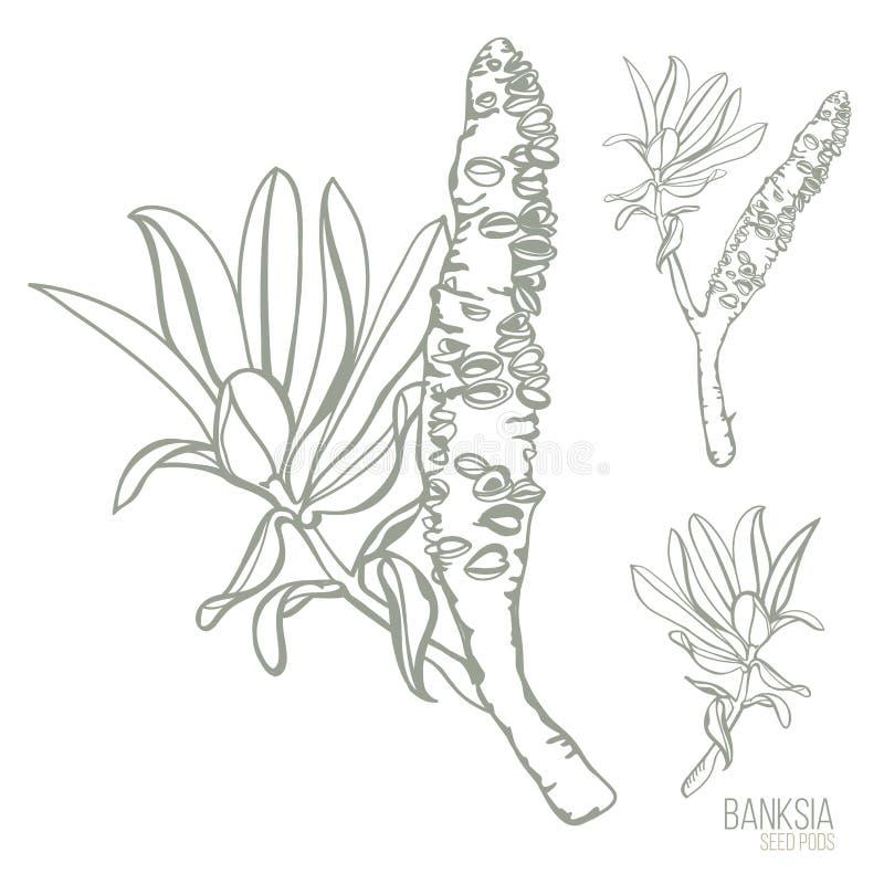Las vainas australianas de la semilla del Banksia dan el ejemplo exhausto del vector ilustración del vector