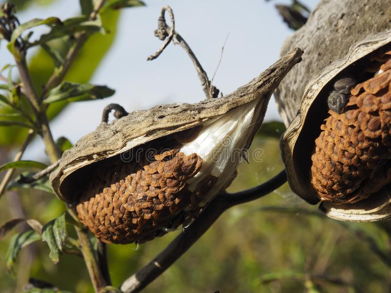 Las vainas del Asclepias del Milkweed partieron abierto con las semillas atadas a las fibras blancas foto de archivo