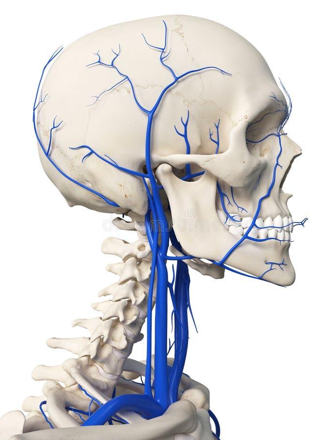 Las venas de la cabeza ilustración del vector