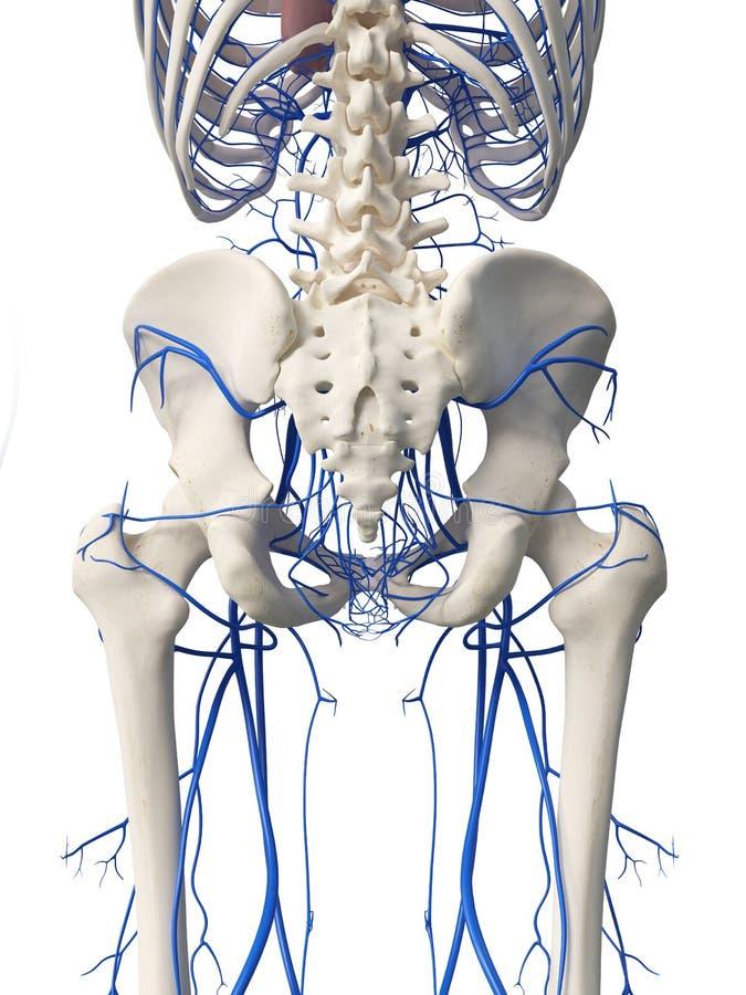 Las venas de la cadera ilustración del vector